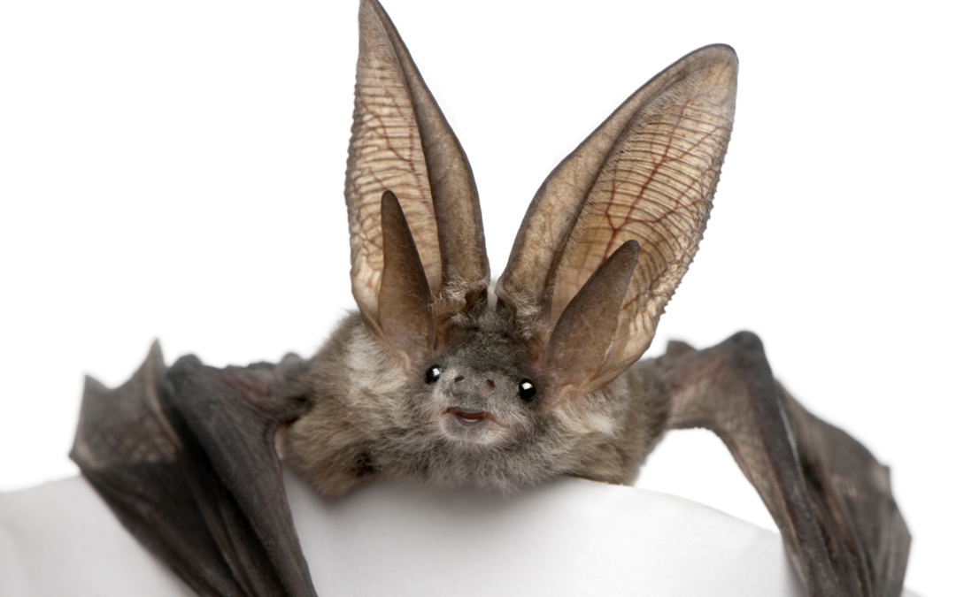 ARTBA Reiterates Objections to Habitat Protection for Long-Eared Bat